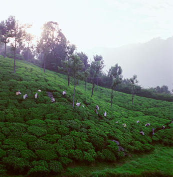 Tea Pickers At Sunrise