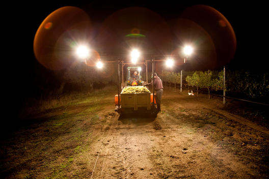 Tractor and workers hauling grapes during night harvest.