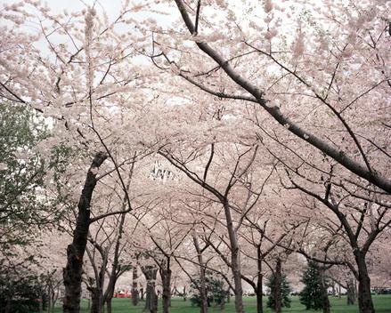 Tree canopy of cherry blossoms, Washington DC, USA.