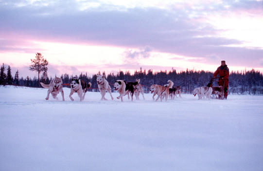 A Swedish Man Races A Pack Of Ten Huskies Through The Snow.