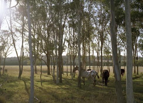 Horses In Woods