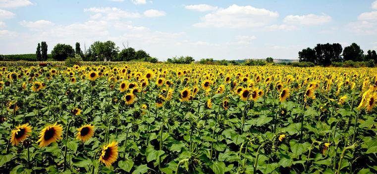 Field of Sunflowers in a Summer season appear in the city of Edirne.