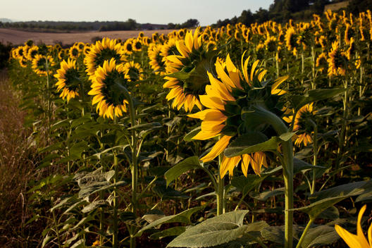sunflower farmlands