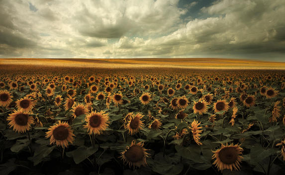 Germany, View of sunflower field near Dresden