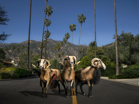 Three rams stand together in the middle of an empty street lined with palm trees