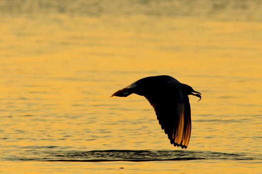 Germany, Mecklenburg-Western Pomerania, Seagull, Laridae, at sunset