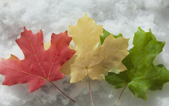 Three maple leaves laid on the snow. Red, brown and green leaves. Autumn foliage.