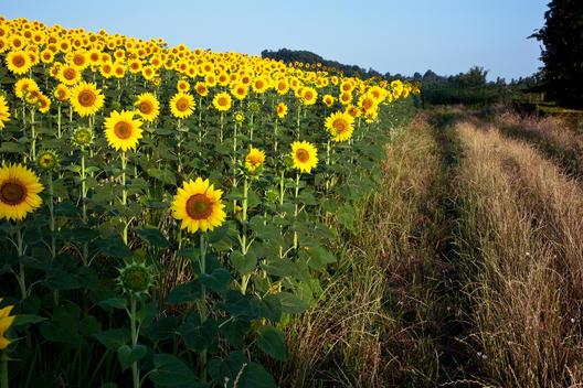 sunflower farmlands