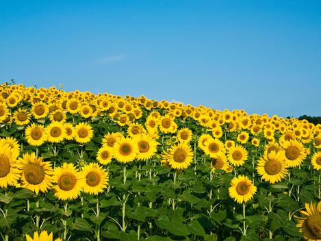 sunflowers landscape