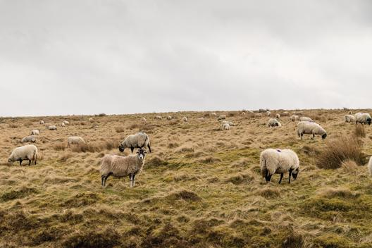 North York Moors National Park. North Yorkshire, England, containing one of the largest expanses of heather moorland in the United Kingdom. It covers an area of 554 sq mi (1,430 km2). The North York Moors became a national park in 1952.