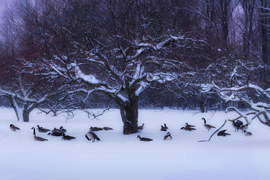 Canada Geese Take Shelter Under A Winter Apple Tree At Royal Botanical Gardens