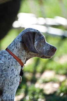 Braque Du Bourbonnais, French Pointing Dog