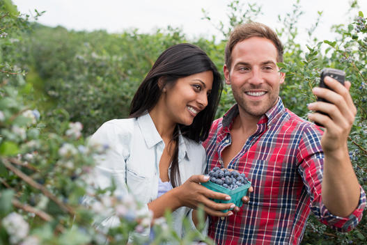 Blueberry plants bearing fruit. Two people among the bushes, taking a selfy with a smart phone.