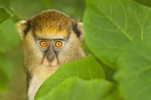 A young Mona monkey, Cercopithecus mona, hiding in foliage at the Boabeng-Fiema Monkey Sanctuary, an animal conservation project in Ghana.