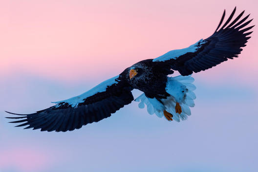 Steller\'s eagle flying in colorful sky