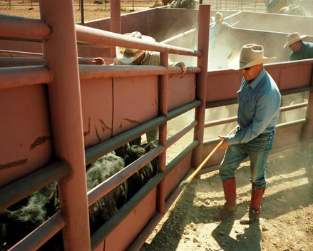 Cowboy loads cattle into truck for transportation north during the worst draught in Texas history