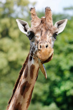 animals, giraffe