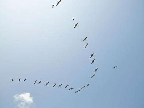 A flock of flying birds.