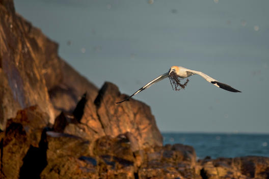 Gannet bird carrying twigs in beak