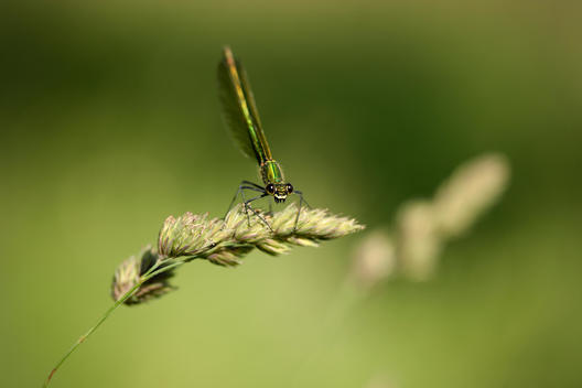 Banded demoiselle, Calopteryx splendens, sitting on blade of grass in front of green background