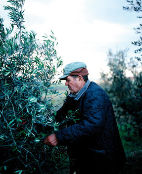 Senior Man In Warm Clothing Attending To Olive Tree.