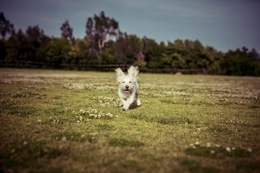 West Highland White Terrier dog playing running in a park