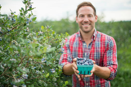 Organic fruit orchard. A man picking blueberries, Cyanococcus, fruit.