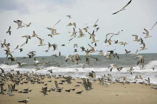 Africa, Guinea-Bissau, Flock of seagulls flying on sea shore