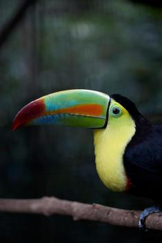Toucan, tropical bird, colorful birds