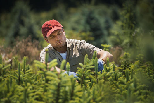 A man wearing protective gloves clipping and pruning a crop of conifers, pine trees in a plant nursery.