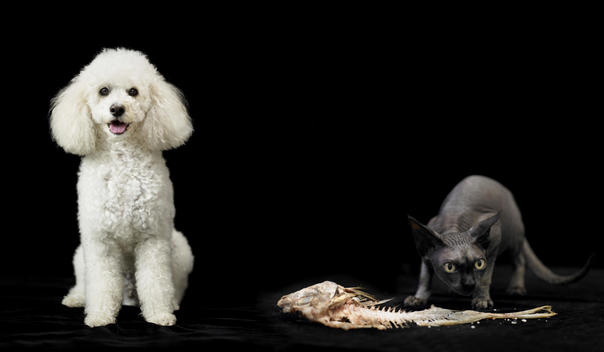 Poodle And Black Sphinx Cat On Black Background