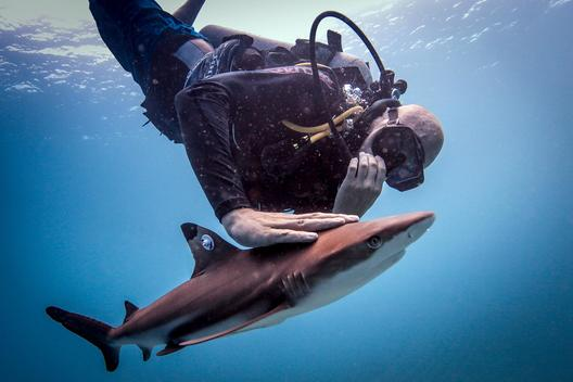 Diver releasing a tagged juvenile blacktip reef shark after it has been tagged , Lombok, Indonesia