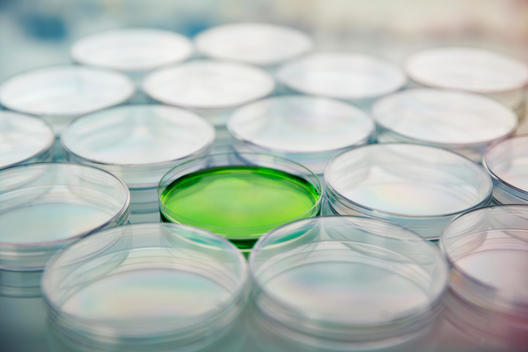 Green cultures in petri dish among empty dishes in lab