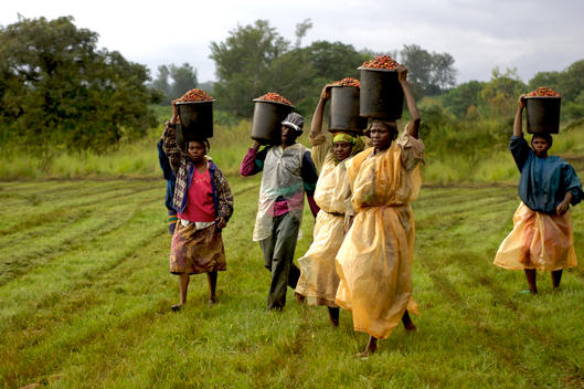 Pickers carrying coffee