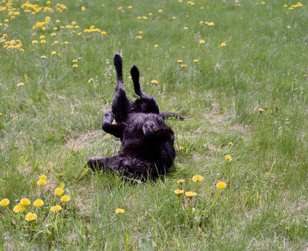 Black dog lying on his back and drying off his fur on a green field with yellow flowers.