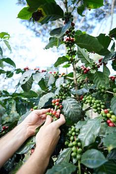 Coffee, coffee picking, coffee cherry picking, coffee farming