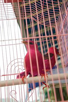 Brightly colored song birds in cage at street market in Hoi An, Vietnam