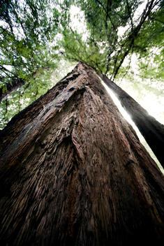 Redwood trees outside San Francisco