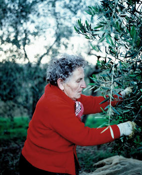 Senior Woman In Red Sweater Working On Olive Tree.