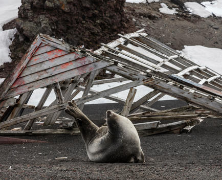 On Deception Island in Antarctica, at the remains of a decommissioned whaling and sealing station, a seal stretches upward to the sky as though it was declaring victory against those who committed atrocities against its ancestors only decades before.