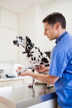 Veterinarian examining dog in vet\'s surgery