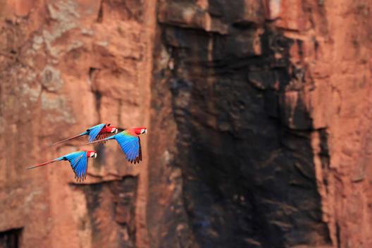 Brazil, Mato Grosso, Mato Grosso do Sul, Bonito, Buraco of Araras, flying scarlet macaws