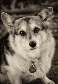 Welsh Pembroke Corgi Dog
