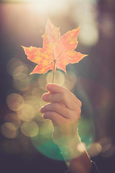 Hand of boy holding autumn leaf at backlight
