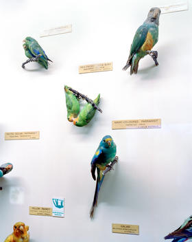Taxidermy Parrots And Parakeets