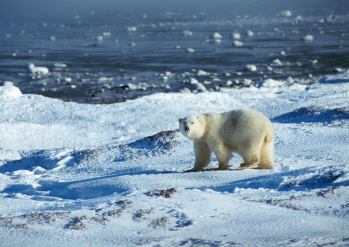 Polar Bear (Ursus maritimus) standing in snowy landscape near edge of water, looking at camera