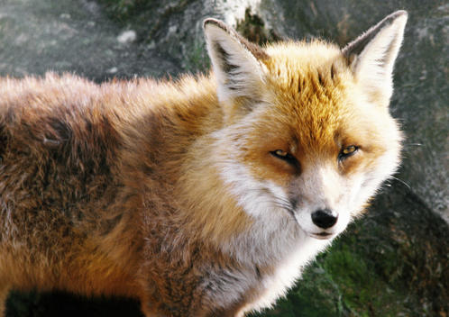 Red Fox (Vulpes vulpes), Scotland, close-up