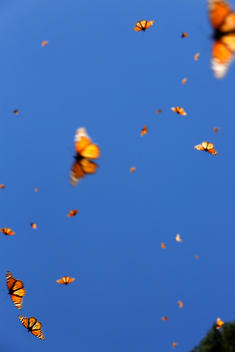 Monarch butterflies flying in blue sky.