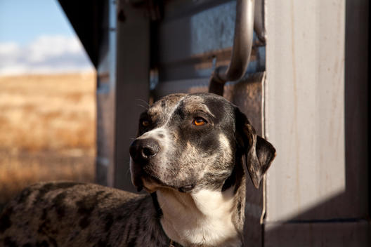 Catahoula Dog on ranch