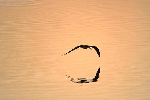 African skimmer (Rhynchops flavirostris) - flying over the Zambezi River at sunset, Mana Pools National Park, Zimbabwe